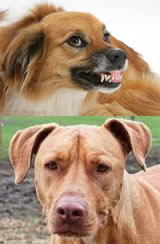 Tame pitbull and vicious collie
